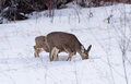 Young Mule Deer Doe and  Fawn Feeding On Winter Grasses. Royalty Free Stock Photo