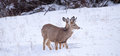 Young Mule Deer Doe Feeding in Deep Snow Royalty Free Stock Photo