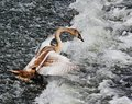 Young Mute Swan on River Weir (Cygnus Olor) Royalty Free Stock Images