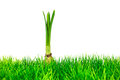 Young narcissus on fresh green grass isolated on a white background Stock Photos