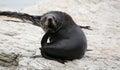 Young new zealand fur seal new zealand near kaikoura Royalty Free Stock Photo