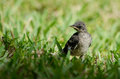 Young northern mockingbird baby standing in grass fort myers florida Royalty Free Stock Photography