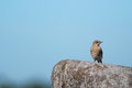 Young northern wheatear on a boulder Stock Photos