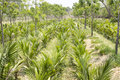 Young oil palms in reserch field row of Stock Photo