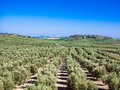 Young olive trees in the plantation spain spanish green fields Stock Images