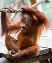 Young orangutan Royalty Free Stock Photo