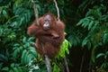 Young Orangutan On The Tree