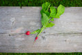 Young organic reddish fresh unwashed on wooden background top view Stock Image