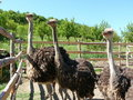 Young ostriches on a farm Stock Image