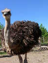 Young ostriches on a farm Stock Photo