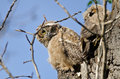 Young owlet making direct eye contact from its nest high in Stock Image