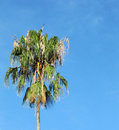 Young palm tree against the sky. Royalty Free Stock Photo