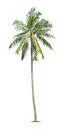 Young palm tree isolated on white background Royalty Free Stock Photo