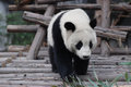 Young panda cute walking on the wood Royalty Free Stock Photos