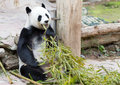 Young panda eats bamboo zoo Royalty Free Stock Photo