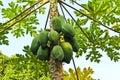 Young papaya Stock Photos