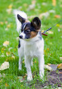 Young papillon Royalty Free Stock Image