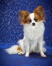 Young Papillon Dog Royalty Free Stock Images