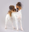 Young papillon dog of breed on a gray background Royalty Free Stock Photography