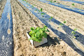 Young paulownia tree seedlings rows planted in the for biomass production Stock Photo