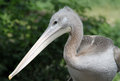 Young Pelican Royalty Free Stock Image