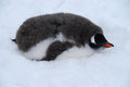 Young penguin gentoo chick lying in snow waiting for a parent to feed it Royalty Free Stock Image