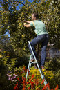 Young people gather apples standing on a stepladder Royalty Free Stock Images