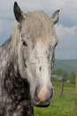 Young percheron draft horse a changing color from black to white Royalty Free Stock Photos