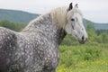 Young Percheron Draft Horse Royalty Free Stock Photo