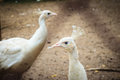 Beautiful young white peafowl. White young male albino peacock.