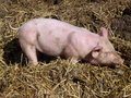 A young pig in the straw Stock Images