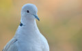 Young pigeon portrait Royalty Free Stock Photo