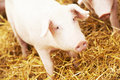 Young piglet on hay at pig farm Royalty Free Stock Photo