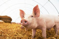 Young piglet at pig breeding farm one on hay and straw Stock Photography