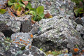 Young pika feeds on grass among the rocks in tien shan a rodent from family of lagomorphs red places of their habitat Stock Photos