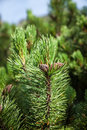 Young pine branch with cones in high tatra mountains slovakia europe Royalty Free Stock Photo