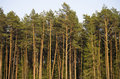 Young pine (pinus) trees Royalty Free Stock Photo