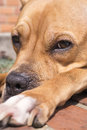 Young pit bull terrier sleeps close detail Stock Photos