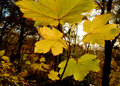 Young planetree branch and leaves autumn season Royalty Free Stock Photo