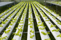 Young plant of green oak in Hydroponics Vegetable farm.