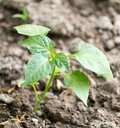 Young plant in the ground pepper Royalty Free Stock Photo