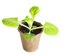 The young plant grows from a fertile soil is isolated on white background Stock Photo