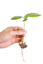 Young plant in human hand Royalty Free Stock Photo