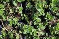 Young plants of ginger mint Mentha Gracilis, also callet Scotch Spearmint