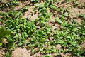 Young plants, seedlings, sprouts, shoots and cotyledons of Trifolium incarnatum, also called Italian clover. Young clover leaves