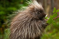 Young porcupine north american foraging on green leaves Royalty Free Stock Images