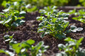 Young potato plant growing on the soil. Royalty Free Stock Photo