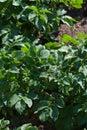 Young potato plant growing on the soil.Potato bush in the garden Royalty Free Stock Photo