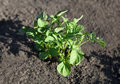 Young potato plant Royalty Free Stock Photo
