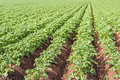 Young potato plants in converging ridges Royalty Free Stock Photo